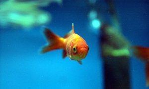 Goldfish-001
